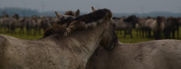 konik stallions mutual grooming