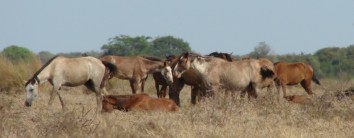 Huddle of a multi-stallion band in Los Llanos (Venezuela)