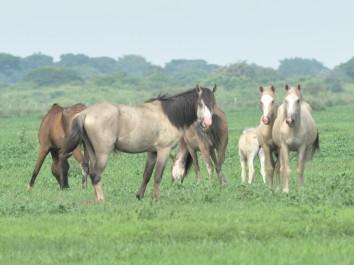 Padrote the Stallion - Los Llanos