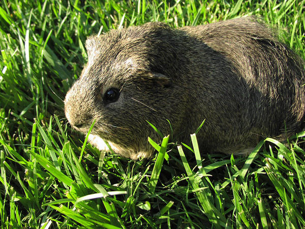 Cavy_eating_grass