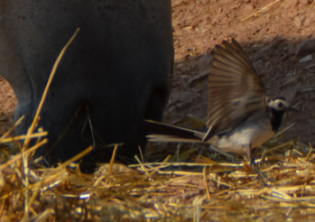 altanero bird5