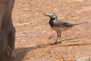 altanero bird8