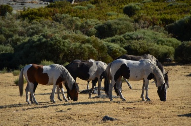 Ibai and his piebald band are grazing slowly towards a watering hole in the Trampales area.