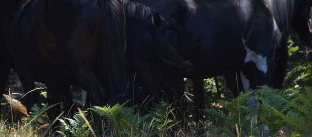 A Pottoka band huddled under the shade of an oaktree forest in the Sierra of Extremadura. This is an example of a tight huddle, wherein members of the group are in physical contact with one another. In this case we see a band stallion facing us while having flies conveniently swatted off his face by his 4 month old daughter.