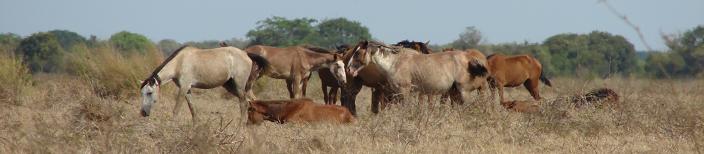 Horses huddle loosely (Criollos-Venezuela)