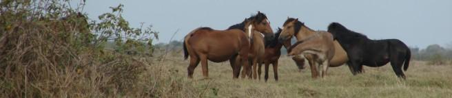 Horses huddletightly (Criollos-Venezuela)