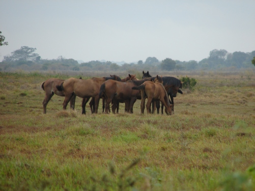A tight huddle of horses in the Los Llanos flood plains. Photo by: Victor Ros Please respect © Copyright!