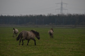 Note the ear position of the stallion driving these two rambunctious foals at play