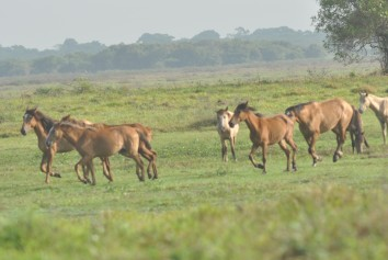 Nicordon the stallion chases a group of bachelors