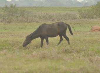 Furia the stallion herding posture