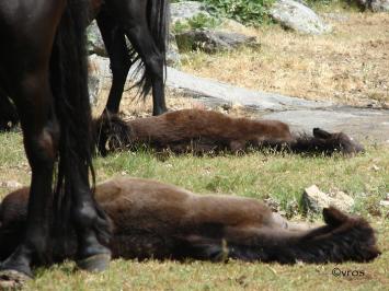 Synchronized foal rest