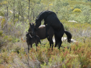 Ibai mounts Gastain while the foal patiently waits
