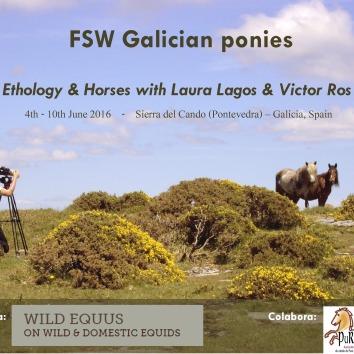 FSW Galician Ponies